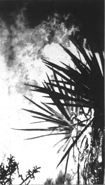 burning Joshua Tree image